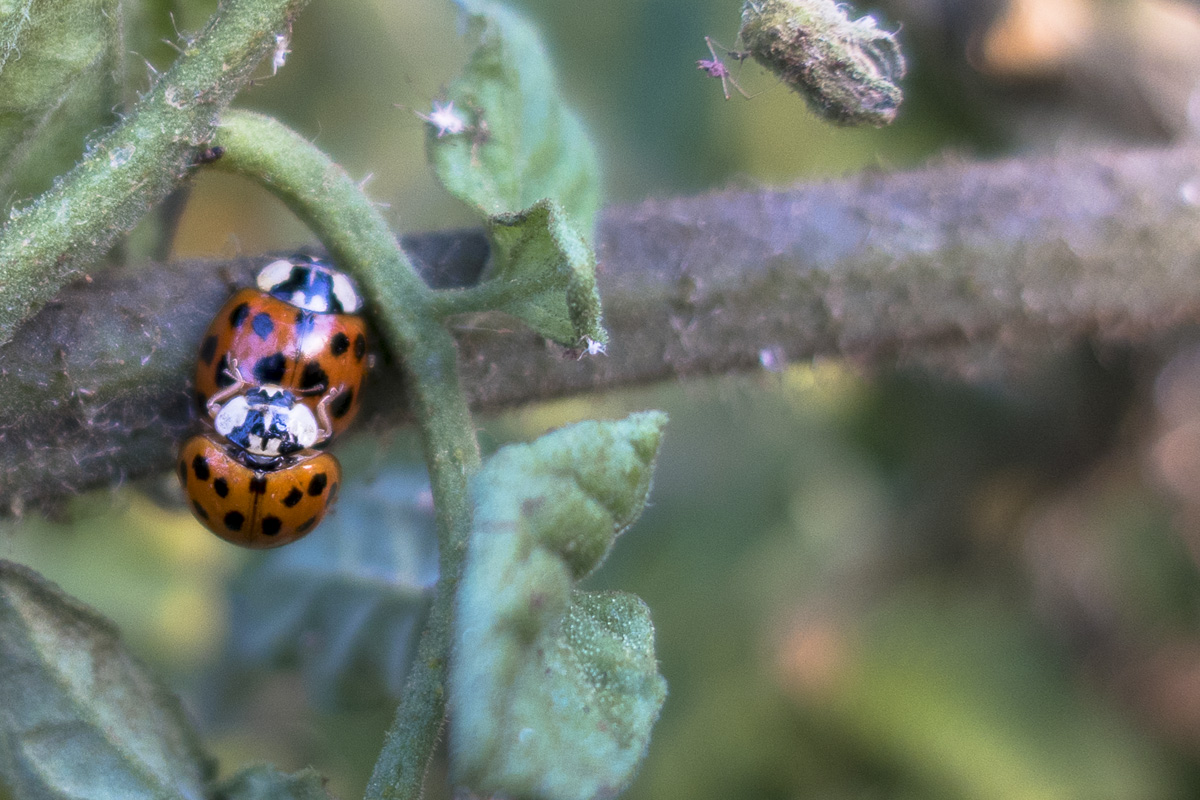 Ladybugs on a tomato plant